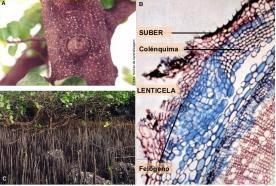 Lenticela. Tecido vegetal