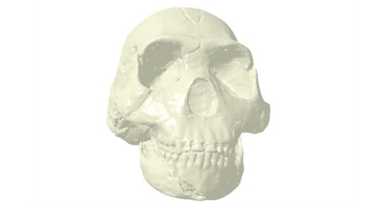 Agora em 3D MorphoSource é um banco de dados livre de imagens 3-D de fósseis (Homo Naledi mostrado).