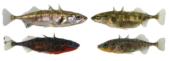 Mesmo lago, peixes diferentes. Eawag / David Marques