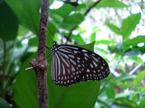 Parantica sp (borboletas comuns observados em parques da cidade Kuala Lumpur)