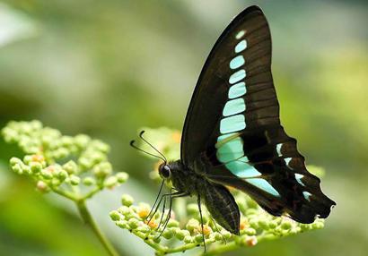 Uma borboleta bluebottle comum, Graphium sarpedon. Foto por Kazuo Unno.