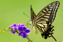 Papilio xuthus (Papilionidae)