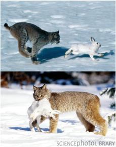 Lince e a lebre das neves
