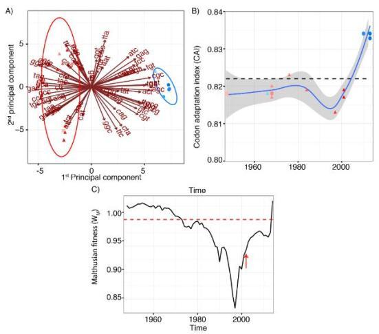 Virus Zika (ZIKA) adaptação códon e fitness de acordo com a linhagem. A) Análise RSCU para a região de codificação poliproteína mostra que o componente principal (PCA), está de acordo com as distinções filogenéticas entre as duas linhagens Zika. A (azul) linhagens asiáticas Africano (vermelho) e foram codificados por cores de acordo com as datas de isolamento, cores mais claras representam datas de isolamento mais velhos. Formas representam o anfitrião isolamento: mosquitos (triângulo), macaco (quadrado) ou seres humanos (círculos). B) gene NS1 Índice de Adaptação Codon (CAI) para os genes de limpeza humanos para o Africano (vermelho) e asiática (azul) linhagens de acordo com as datas de isolamento. C) aptidão malthusiana (WM) estimada para ZIKV desde 1947, o que representa diminuição (WM 1). A seta vermelha referencia o final de amostragem linhagem Africano.