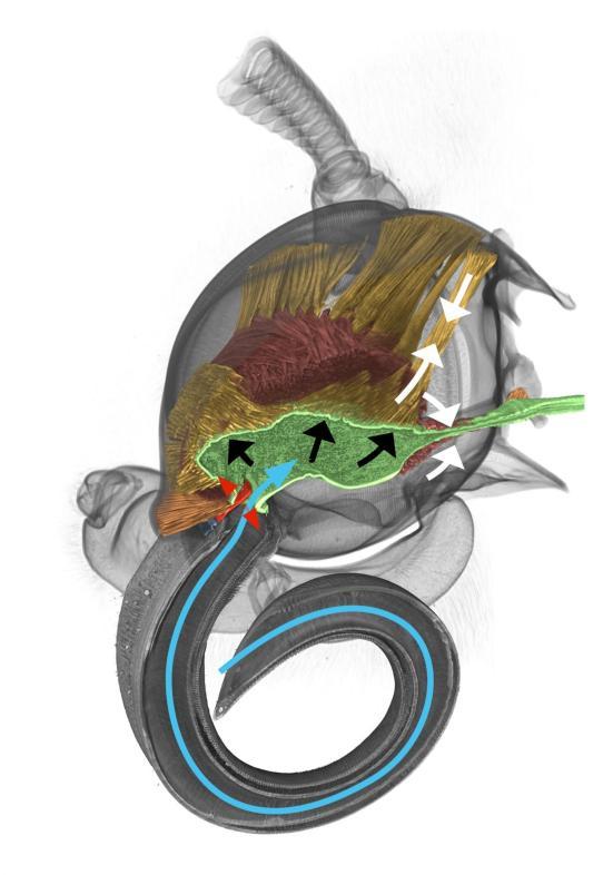 Este é a a reconstrução em 3-D uma mariposa cabeça-de-morte feita com base em dados de Tomógrafos. As setas brancas marcam os movimentos dos músculos quando o ar é inalado. No processo, o esôfago frente (verde) é estendido e ar (seta azul) é aspirado através do vácuo criado desse modo. O ar passa de uma aba, o chamado epifaringe (vermelho). Este é é pressionado contra o ar que entra pela força muscular. Como consequência, a aba de começar a vibrar na corrente de ar e um som é produzido. Crédito: filético Museu / FSU Jena