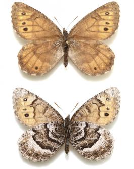 O recém-descoberto borboleta Tanana Ártico. (Andrew Warren / Florida Museum of Natural History via AP)