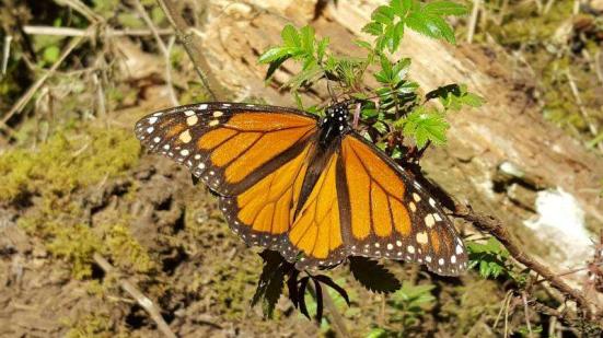 Borboleta-monarca masculino - Uma borboleta de monarca (plexippus do Danaus) descansando e tomando sol em um site de hibernação na Piedra Herrada Monarch Butterfly Sanctuary no México. Este indivíduo é um macho, identificável pela mancha negra em cada asa posterior. Crédito: Steve Hilburger, USGS.