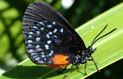 Uma borboleta Atala (Eumaeus Atala). Foto por Scott Zona [CC BY 2.0], via Wikimedia Commons.