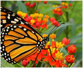 Monarca em uma serralha (asclepias curassavica )