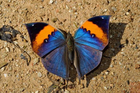 Kallima inachus (Nymphalidae). Fonte: Pbase