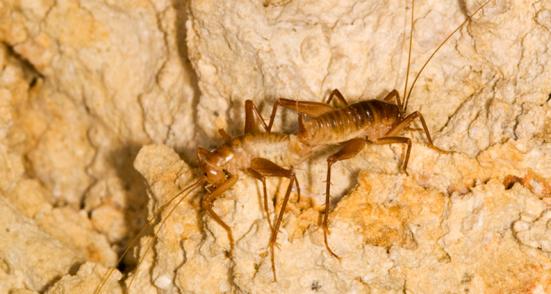 Texas cavernas podem ser o lar de mais grilos Ceuthophilus que são reconhecidos oficialmente, um novo estudo mostra. JEAN KREJCA