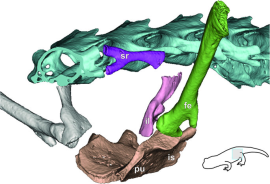 vista ântero-lateral da cintura pélvica. fe, fêmur (verde); il, osso ilíaco (rosa); é, a região isquiática de pub placa isquiádico (tan); pu, região pubiana do pub placa isquiádico (tan); sr, rib sacral (roxo escuro). Clique para ampliar