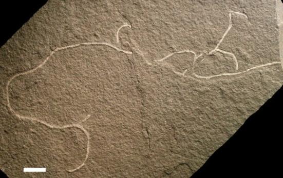 Chinggis Khaanii bifurcata é o nome científico de um dos novos tipos de algas multicelulares recentemente encontrados preservados como fósseis antigos. Imagem cortesia da Universidade de Wisconsin-Milwaukee: Crédito