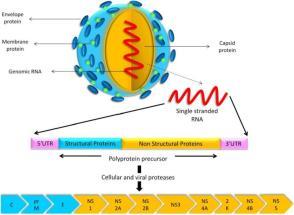 modelo, a sua estrutura genética, e as proteínas codificadas pelo seu genoma. O precursor de poliproteina é clivada por proteases celulares e virais para produzir as três proteínas estruturais (C, prM e E) e oito proteínas não estruturais (NS1, NS2a, NS2B, NS3, NS4A, 2K, NS4B e NS5).