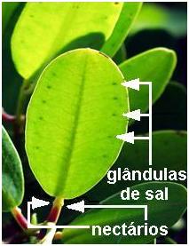 Estrutura da folha de mangue