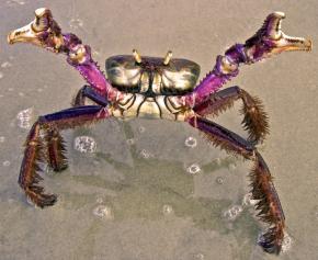 Caranguejo-Uçá (Ucides cordatus). Fonte: libutron