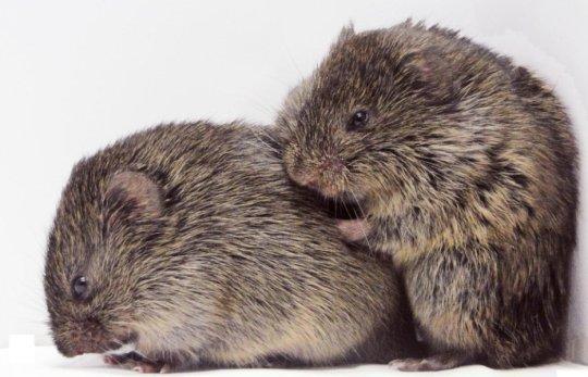 """Prairie ratazanas consoladora. Trata-se de um material de papel que apareceu na edição de 22 de janeiro de 2016 da Science, publicada pela AAAS. O papel, por James Burkett na Universidade de Emory, em Atlanta, GA, e seus colegas foi intitulado, """"comportamento dependente da oxitocina em roedores consolação."""" Crédito: Zack Johnson"""
