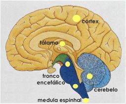 Todas as mensagens sensoriais, com exceção das provenientes dos receptores do olfato, passam pelo tálamo antes de atingir o córtex cerebral. Esta é uma região de substância cinzenta localizada entre o tronco encefálico e o cérebro. O tálamo atua como estação retransmissora de impulsos nervosos para o córtex cerebral. Ele é responsável pela condução dos impulsos às regiões apropriadas do cérebro onde eles devem ser processados. O tálamo também está relacionado com alterações no comportamento emocional; que decorre, não só da própria atividade, mas também de conexões com outras estruturas do sistema límbico (que regula as emoções).