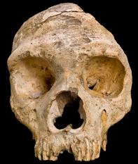 Homo neanderthalensis. reconstituição de como seria a face do Neandertal de Gibraltar I. Fonte: Natural History Museum