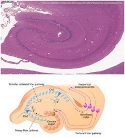 A figura representa a circuitaria trissináptica na região hipocampal e do Córtex entorrinal de um rato. Pode-se ver claramente como estão dispostas as fibras musgosas e as colaterais de Schaffer. As fibras musgosas partem das células granulares do giro denteado e projetam seus axônios até a região CA3, onde se encontram com células piramidais. Na porção inferior do lado direito pode-se visualizar a via perfurante (VP), na porção superior pode-se ver as conexão estabelecidas com regiões do manto cortical.