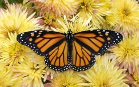 Fotografia de uma borboleta monarca. Crédito: David R. Weaver