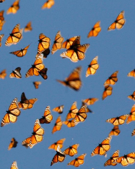 A migração da Monarch é único. Viajando de longa distância em grandes números. Crédito: Monarch Assista