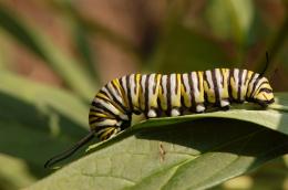 Lagarta de borboleta monarca (Danaus plexippus). Foto: Wikipédia