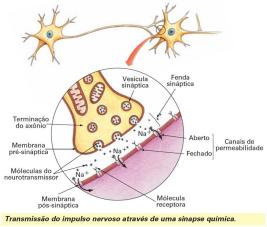 Neurotrasmissão e onde os neonicotinóides atuam, os canais de Na+