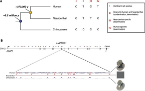 (A) relação evolutiva do ser humano moderno, Neanderthal, e chimpanzé. datas de divergência mostrados são estimados a partir comparações de sequências de genoma. Um esquema das mudanças de nucleotídeo único detectados em comparações-Neanderthal-chimpanzé humana com mostrado à direita, ordenadas pela freqüência com que são susceptíveis de aparecer. aulas de substituição e os artefatos antigos de ADN particularmente problemático para cada loop são descritos na legenda. (B) Valor de sequência do genoma neandertalense para sexo substituições específicas de humanos funcionalmente relevantes, utilizando o intensificador HACNS1 como um exemplo. (Top) HACNS1 está localizado em um intron de GAP1 ea jusante da GBX2 no cromossomo humano segunda (inferior) Os 13 substituições específicas de humanos envolvidos no ganho específico do humano da função neste elemento. Os padrões de expressão potenciador conferidos pela HACNS1 e ort�logo chimpanzé em embriões de camundongos E11.5 são mostrados à direita. Em uma comparação do genoma humano-Neanderthal, Neanderthal seqüência única lê (setas vermelhas) será de azulejos em toda esta região. Uma leitura única abrangendo HACNS1 podem identificar que as substituições são exclusivos para os seres humanos modernos e que são compartilhados entre os seres humanos modernos e neandertais. Esta análise também fornecer informações sobre o padrão do ortólogo Neanderthal HACNS1 expressão potenciador