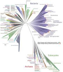 """A nova árvore da vida que pesquisadores publicaram. Isso mostra que grande parte da biodiversidade da Terra é de bactérias (superior) metade dos quais inclui """"radiação de filos candidatos"""" que ainda estão à espera para serem descobertos. Os seres humanos estão no ramo inferior do eucariontes. Crédito Jill Banfield / UC Berkeley, Laura Hug /University of Waterloo."""