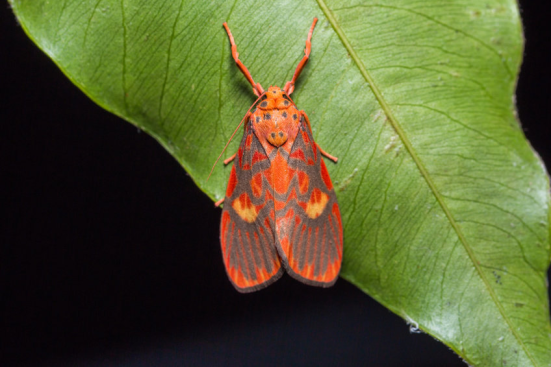 Mariposa-tigre (Barsine cuneonotatus). Credit: © teptong / Fotolia