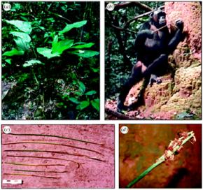 A partir de matérias-primas para uma sonda ferramenta de cupins-pesca melhorada. (A) aprovar plantas Marantaceae usados para criar pesca, (b) a pesca chimpanzé cupins com uma sonda com ponta de escova, (c) imagens das sondas recuperadas em ninhos e (d) os detalhes de uma ponta do pincel com cupins.