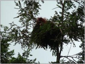 Um Sumatra espreita orangotango fora de seu ninho na floresta. (Todas as fotos por Adam van Casteren. Fonte: Earth in transition. Clique para ampliar