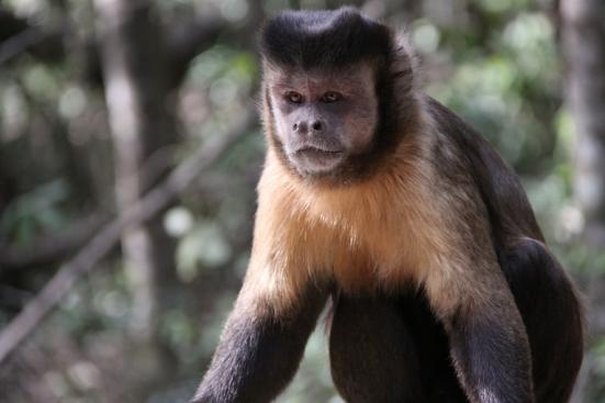 Macaco aranha Cebus apella Fonte: Earth Times