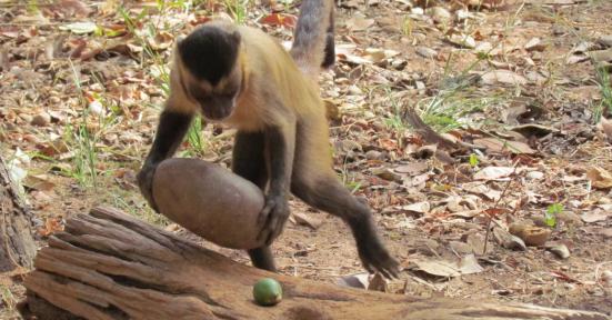 Macaco-prego usando uma ferramenta. Fonte: NYTimes
