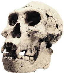 Homo erectus encontrado em Dmanisi, (Georgia).