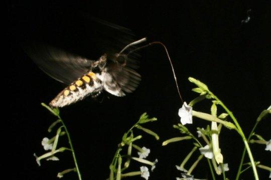 A sexta Manduca visitas traça as flores de Nicotiana attenuata, uma espécie de tabaco selvagens. As mariposas noturnas são atraídos pelos voláteis florais, mas também visitar flores sem perfume. Crédito: Danny Kessler / Instituto Max Planck de Ecologia Química.