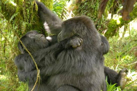 Photo credit: Two female mountain gorillas engaging in homosexual mounting. Cyril Grueter/University of West Australia/PLOS One