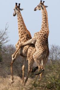 Montagem macho-macho de girafas. Fonte: