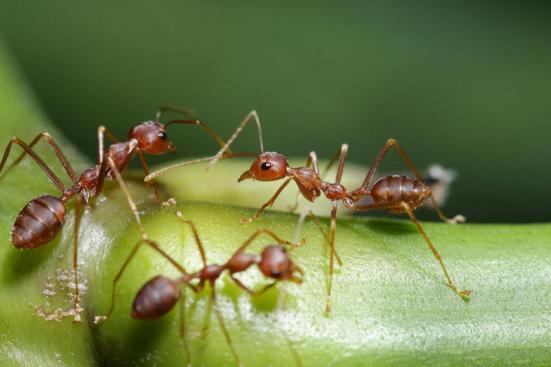 As formigas não se distrair com informações sociais, quando em movimento, possivelmente reduzindo a sobrecarga de informações e aumentando a robustez das sociedades complexas. (Da imagem) Crédito: © chenhawnan / Fotolia