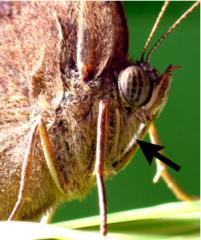 Redução primeiros membros torácicos de bicyclus anynana (Nymphalidae). Indicado pela seta preta. Foto cedida por W. Piel. figuras de alta qualidade estão disponíveis online.