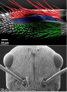 """Formigas usam 'Combs """"e"""" escovas """"para manter suas antenas no topo condição, os cientistas descobriram. Grooming é essencial para os insetos porque eles são incapazes de sentir o cheiro de alimentos, siga trilhas ou comunicar se estes órgãos sensíveis ficar sujo. Cerdas são de cor vermelha, verde azul e escova pente nesta imagem Uma visão microsocope eletrônica de varredura (SEM) da cataglyphis bombycinus? S cabeça densamente coberto de pêlos."""