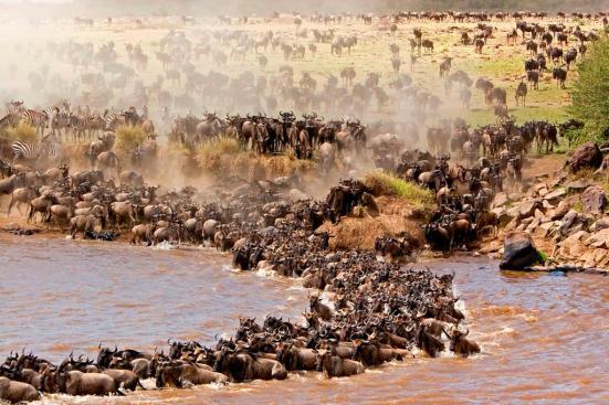 Manada de gnus atravessando o rio Mara. No comportamento de massas é possível ver que búalos africanos se juntam para espantar predadores como o leão. Veja aqui