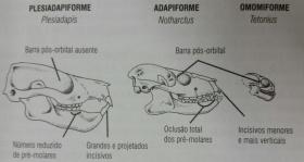 Características cranianas dos primeiros primatas. ilustração de Juliana Barbosa de Almeida Costa. retirado de Neves etal, 2015