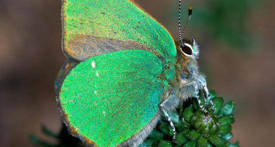 Verde Brilhante - A cor borboletas hairstreak verde é devido a uma superfície em nanoescala em suas asas que reflete a luz. Os pesquisadores têm agora re-criou esta estrutura no laboratório.