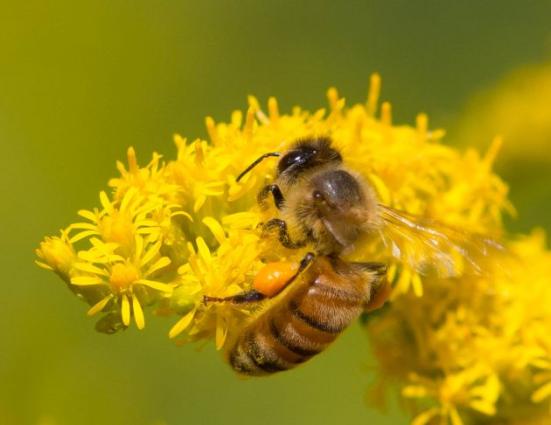 Uma abelha do mel que começ o néctar e pólen de goldenrod no sul do Michigan. O pólen é a substância laranja anexado a perna da abelha. (Imagem Flickr por Steve Burt)