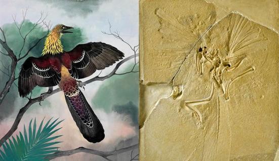"""Esquerda, uma pintura de Archaeopteryx por Maurice Wilson, e à direita, um fóssil do """"mais antigo pássaro"""" da coleção do Museu."""