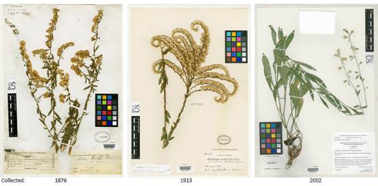 Três dos muitos registros históricos goldenrod mantidos no National Herbarium EUA no Museu Nacional de História Natural do Smithsonian. Estas plantas foram coletadas no Arizona, Flórida e Alabama (esquerda para a direita). amostras Goldenrod neste herbário foram usadas para medir a crescente CO2 atmosférico tem impactado proteínas no pólen. (Foto: cortesia do Museu Nacional de História Natural do Smithsonian)