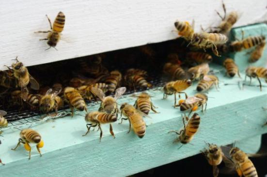 Abelhas do mel em setembro. (Imagem Flickr por Rebecca Leaman).