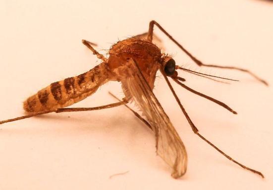 O London Underground Mosquito (Culex pipiens molestus) foi encontrada em sistemas subterrâneos de todo o mundo. Acredita-se que evoluíram a partir do mosquito casa comum através de uma população subterrânea. Crédito: Walkabout12, via Wikimedia Commons, CC BY-SA 3.0; , Licença Creative Commons (sem alterações feitas à imagem)